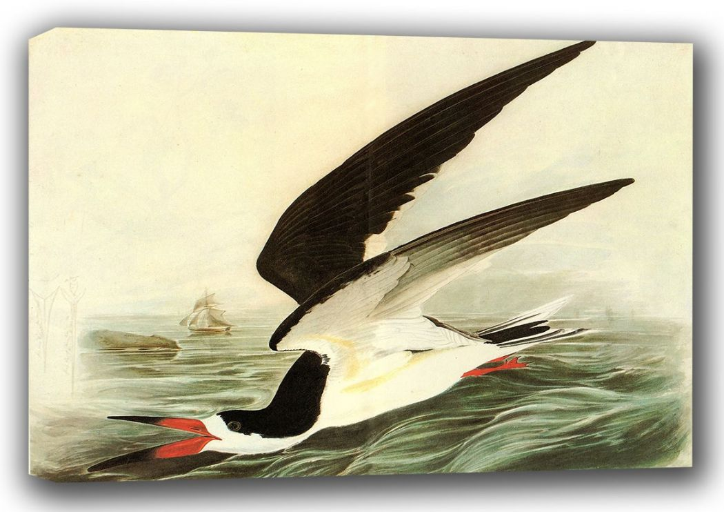 Audubon, John James: Black Skimmer. (Ornothology/Bird) Fine Art Canvas. Sizes: A3/A2/A1 (001012)